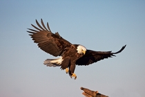 The Landing - Bald Eagle in Alaska by Buck Shreck
