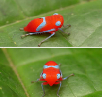 The leafhopper nymph from Ecuador