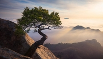 The little giant a small tree not even two feet tall growing proudly on top of Daedunsan in South Korea