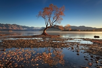The Lone Willow - a solitary tree on Lake Wanaka New Zealand  photo by Soniel Dalumpines from rNZPhotos