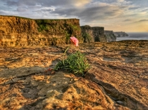 The loneliest flower sitting on the Cliffs of Moher Ireland