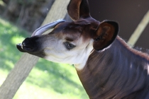 The long tongue of the okapi Okapia johnstoni Lisbon Zoo Portugal  x-post rOkapiParadise