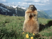 The Majestic Alpine Marmot