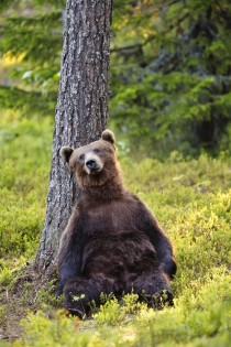 The Majestic Grizzly Bear Day Dreaming