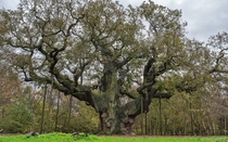 The Major Oak in Sherwood Forest Nottinghamshire recently voted Englands Tree of the Year Photo by Phil Lockwood  x-post rOakPorn