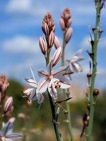The meadow of Asphodel where dwell the souls and shadows - Asphodelus spp