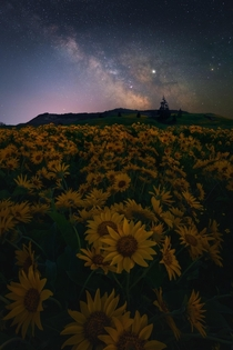 The milky way above a field of gold blooms in the Columbia River Gorge