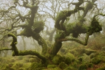 The misty wild woods of Dartmoor National Park Devon England  Photographed by Duncan George