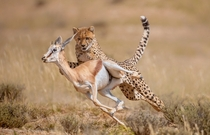 The moment a cheetah grabs its prey a springbok  photo by Wim van den Heever