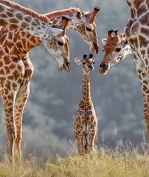 The moment when you did something that others couldnt Giraffa Camelopardalis
