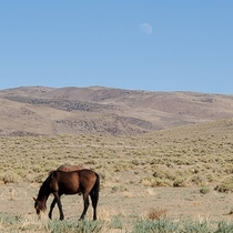 The moonrise and some grazing mustangs at  in the afternoon on the way to work Clark NV