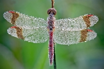 The morning dew settles on a dragonfly Photo by David Chambon
