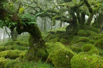 The moss-covered forests of Dartmoor England  by Duncan George