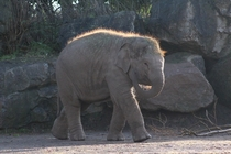 The most beautiful elephant calf at Chester Zoo England