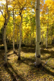 The most beautiful trees Ive ever seen fall aspens glowing in the sunlight San Juan Mountains Colorado