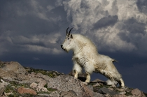 The mountain goat Oreamnos americanus also known as the Rocky Mountain goat  photo by VDN