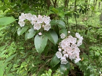 The Mountain Laurel are blooming this week in Pennsylvania