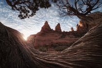 The Nuns wrapped around a tree branch in Sedona AZ