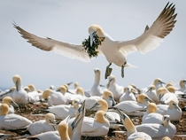 The Offering Northern gannets Bonaventure Island Quebec photo by Jacques-Andr Dupont