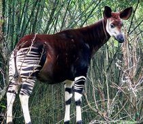 The okapi Okapia johnstoni aka the forest giraffe