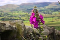 The Only Foxglove in The Trough of Bowland