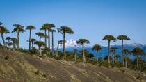 The other day a saw a similar photo here so i wanted to share mine Llaima Volcano with some Araucaria Trees Araucana Chile