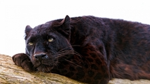 The Panther also commonly known as the Black Panther is a large member of the Big Cat family native to Asia Africa and the Americas