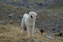 The Patou a Pyrenees mountain dog