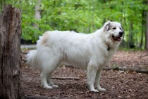 The Patou or Great Pyrenees Mountain dog
