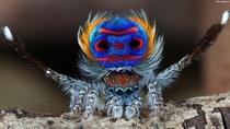 The peacock spider a species of jumping spider Maratus volans