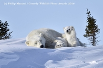 The Polar Bears Photographed by Philip Marazzi