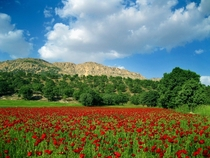 The poppy fields Kohgiluyeh-Boyerahmad Province Iran  By Hossein Mhz