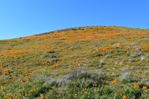 The poppy flower superbloom in Lancaster CA this season