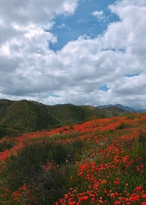 The Poppy Super-bloom - Walker Canyon Lake Elsinore CA