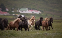 The power and beauty of Icelandic horses Iceland
