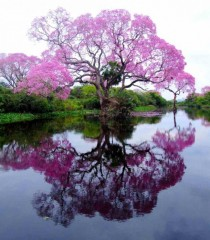 The Pristine Piuva Tree Brazil