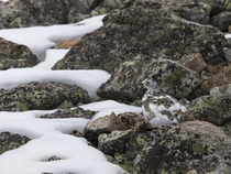 The Ptarmigan molts when the snow melts so it can maintain its camouflage