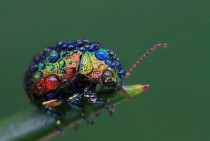The rainbow leaf beatle