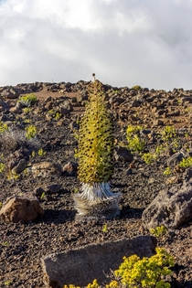 The rare Silver Sword only grows on Mt Haleakala in Maui HI and dies once it blooms