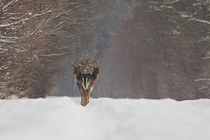 The rare three-headed deer - three elk in single file in a snowy forest