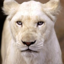 The Rare White Lion Of South Africa
