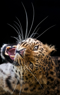 The rarest and most endangered big cat in the world - the Amur Leopard