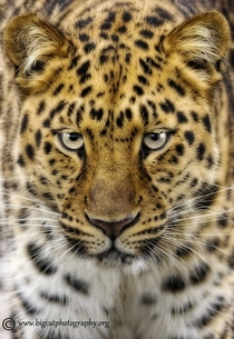 The rarest of all the big cats the Amur Leopard lives in the far east of Russia close to the Chinese border They are critically endangered with maybe as few as  remaining in their natural habitat