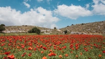 The real red carpet Poppy Flowers plantation on a Greek Island - Lefkada