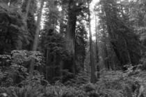 The Redwood Forests of Northern California photographs cannot do justice to their size
