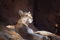 The regal mountain lion Puma concolor