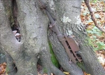 The remains of a rotted Mannlicher Carcano rifle embedded in a tree Nevsky Pyatachok Russia One of many similar war remains from the Siege of Leningrad Links in comments  Image by dasBild