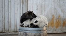 The saddest goat to sit atop a barrel
