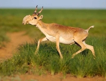 The saiga Saiga tatarica is a critically endangered antelope only found in Russia and Kazakhstan
