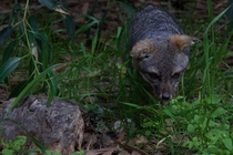 The Santa Cruz Island Fox emerging from the brush